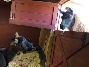 Velvet looks in on Itsy in the kidding stall.